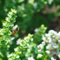 Experiences: Planting for Honey Bees
