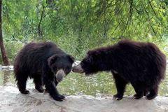 Book Online: A Day with Bears - Daroji Sloth Bear Sanctuary