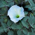Free: Moonflower Datura