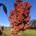 pay online or by mail: 'Coral' Sorghum