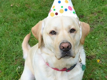 Selling: Labrador Photo Greeting Card
