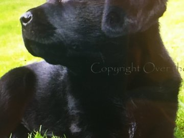 Selling: Labrador Photo Greeting Card