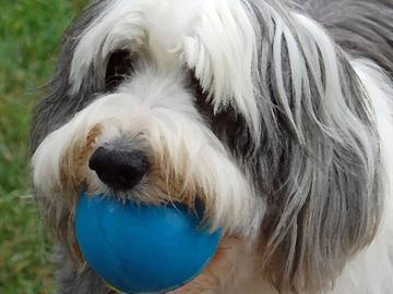 Selling: Bearded Collie Photo Greeting Card