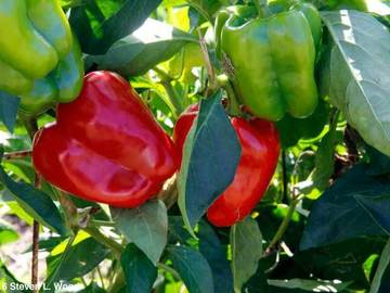 pay online or by mail: Earliest Red Sweet Pepper