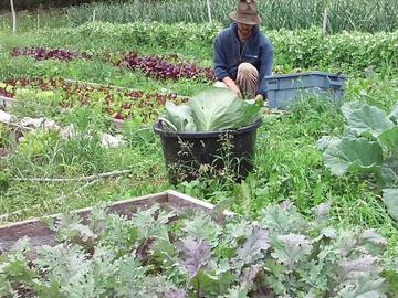 Free: Kelly Kings Jericho Kale