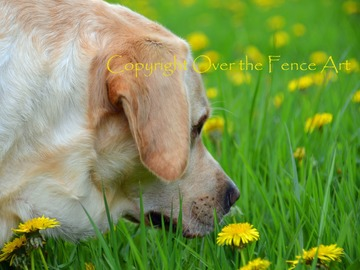 Selling: Yellow Labrador in a field of yellow dandelions. A beautiful phot