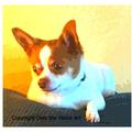 Selling: Adorable Chihuahua Photo Greeting Card