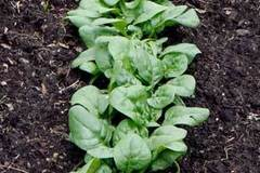 pay online or by mail: Abundant Bloomsdale Spinach