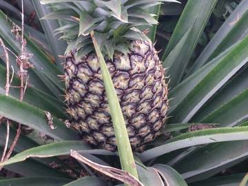 Selling: Ananas Pain de sucre