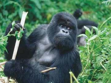 Offering with online payment: 13-Day Explore Uganda & Rwanda Safari