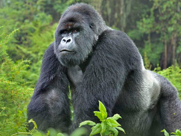 Offering with online payment: 12-Day Affordable Safari-Gorilla and Primate Track Uganda