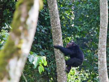 Offering with online payment: 3-Day Chimp Tracking Safari in Nyungwe Forest