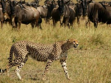 Offering with online payment: 7-Day Cheetah Safari & Migration Safari Kenya