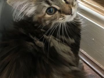 Giving away: mainecoon Kittens Available