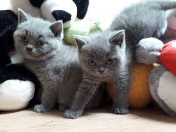 Giving away: Exotic Shorthair Kittens Available