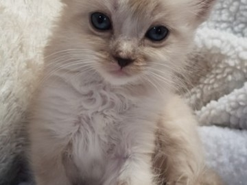 Selling: Home Raised Ragdoll Kittens