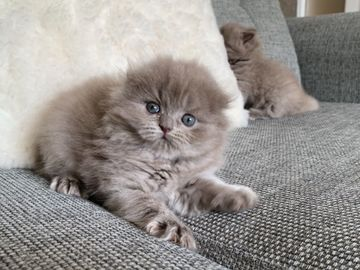 Giving away: Home raised scotish fold kittens ready