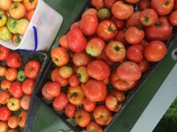 pay online or by mail: Tappy's Heritage Tomato