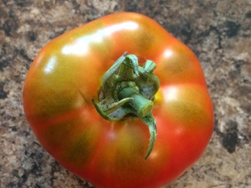 pay online or by mail: Nineveh Tomato