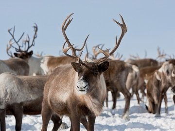 Offering with online payment: Visit Reindeer Farm in the Summer