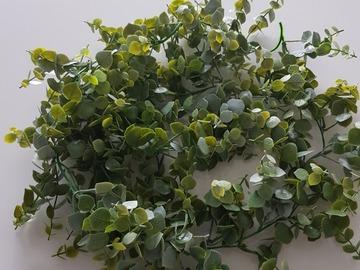 Ilmoitus: Eucalyptusköynnös