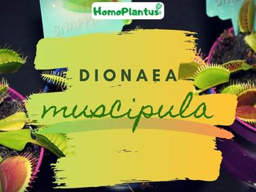 Information: Infos sur Dionaea Muscipula