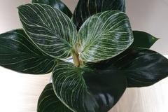 Echange: Rare Philodendron Birkin