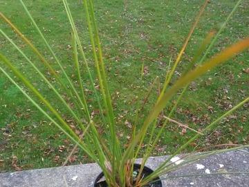 Vente: Plant de Juncus Effucus