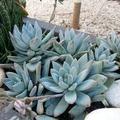 Echange: Plante grasse / Pachyveria 'Powder Puff'