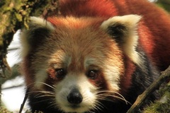 Offering with online payment: Red Panda of Nepal