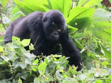 Réserver (avec paiement en ligne): Primate Safari Chimpanzee and Gorilla trekking - Uganda
