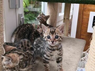 Don:  ADOPTION CHATONS BENGAL