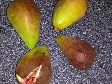 Vente: 7 variétés différentes de figuiers ( boutures)