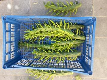 Echange: Plants de cactus Austroylindropuntia subulata