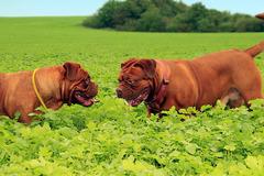 Dienstleistung: Leinenaggression - Wenn der Hund an der Leine ausrastet