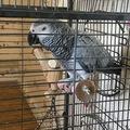 Vente: Perroquet gris du gabon