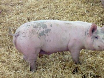 Vente avec paiement en direct: Porcs bio - Colis 5 kilos