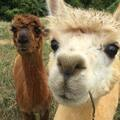Book on LiveLocal or Other Platforms: Cute Alpaca! Auckland Rural New Private Guest Wing