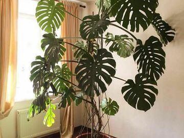 Recherche: Recherche monstera deliciosa mature, plante ou grande bouture Jar
