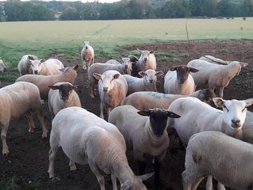 Vente avec paiement en direct: Viande d'agneau en direct du producteur