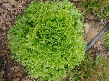 Vente avec paiement en direct: Salade frisée verte en conversion bio