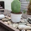 Vente: À vendre cactus