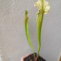 Vente: Sarracenia x Stevensii