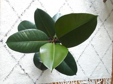 Vente: Ficus elastica