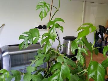 Vente: Bouture Raphidora tetrasperma (monstera minima)