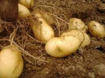 Vente avec paiement en direct: Pommes de Terre nouvelles
