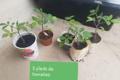 Exchange: Pieds de tomates