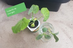Echange: Plants de courge