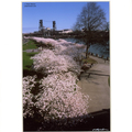 Selling with online payment: Steel Bridge Spring Blossoms