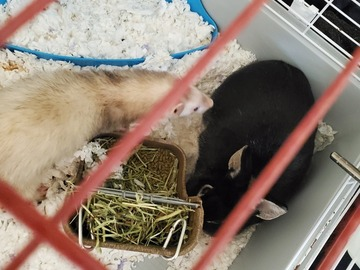 Available: Ferret & Rabbit pair
